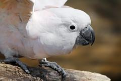 sulphur crested cockatoo(0.0), cockatoo(1.0), animal(1.0), parrot(1.0), wing(1.0), pet(1.0), fauna(1.0), close-up(1.0), beak(1.0), bird(1.0),