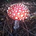Small photo of Otari toadstool