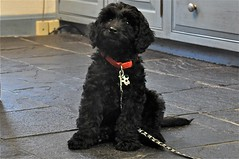 toy poodle, miniature poodle, standard poodle, animal, dog, schnoodle, pumi, pet, mammal, poodle crossbreed, poodle, cockapoo, portuguese water dog, barbet,