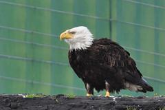 Bald Eagles - 2011