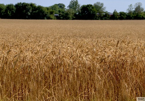 winter red soft wheat