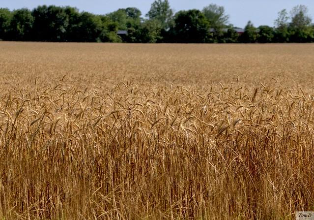 Winter Wheat | Flickr - Photo Sharing!
