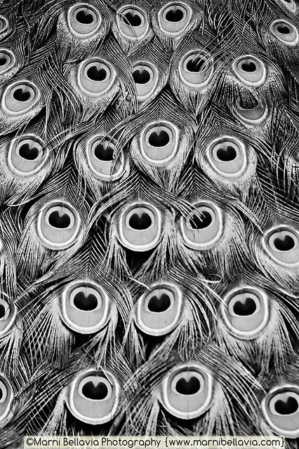 Black and white peacock feathers | Flickr - Photo Sharing!