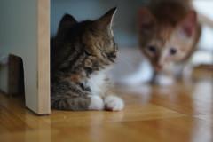 kitten information