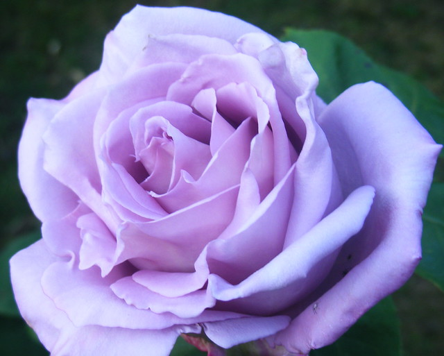 The Gorgeous Blue Moon Rose Flickr Photo Sharing