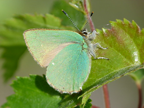 Green Hairstreak (Callophrys rubi) by Peter Orchard