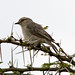 African Grey Flycatcher - Photo (c) Carol Foil, some rights reserved (CC BY-NC-ND)