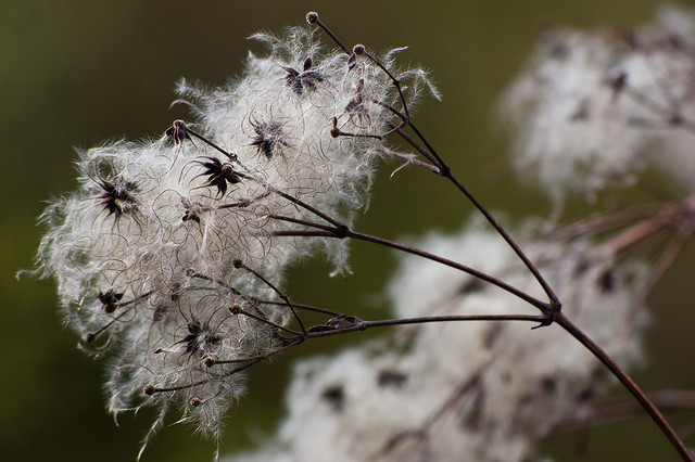 Old man's beard seeds