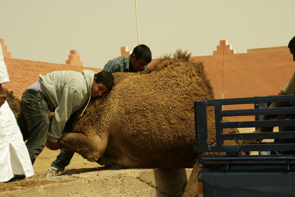 Venda d'un camell 3
