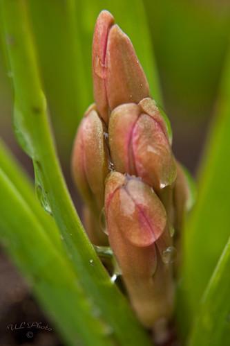 macro nature sweden natur sverige hyacinth halland hyacint falkenberg hyacinthusorientalis svenskafotografer citrit dsc1582 atranswe 10diopters svenskaamatörfotografer afemalenordiceye 569146125083