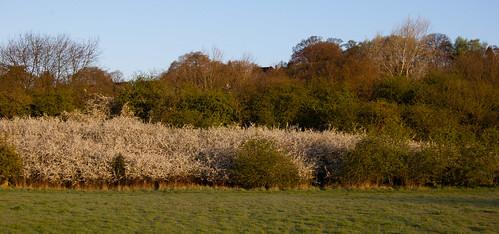 Blackthorn flowering