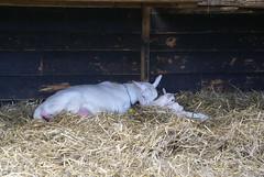 Moeder geit met lammetjes