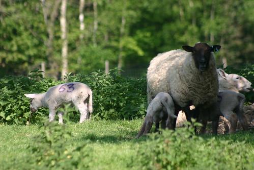 Peter Greenaway Sheep