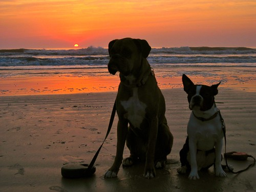 beach sunrise bostonterrier florida boxer