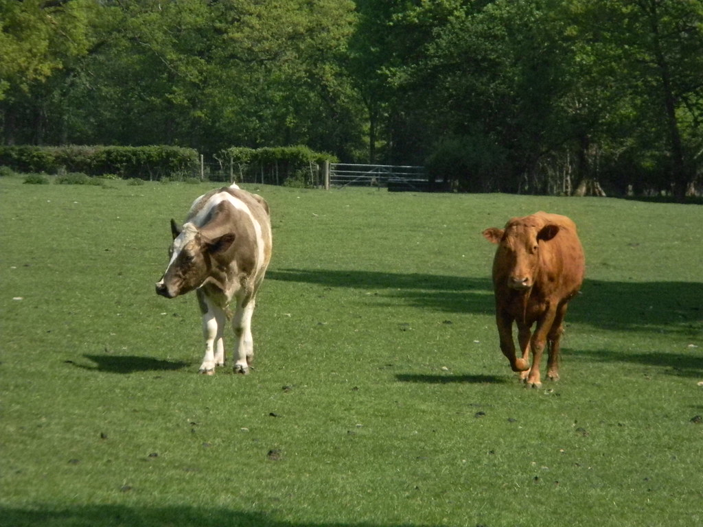 Reservoir Cows Mrs Brown and Mrs Brownygreyandwhite Staplehurst to Headcorn