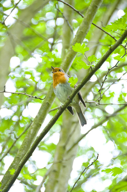 Robin Singing in a Hawthorn Tree