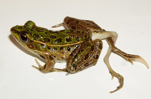 Deformed leopard frog