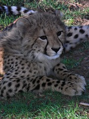 animal, cheetah, small to medium-sized cats, mammal, fauna, wildlife,
