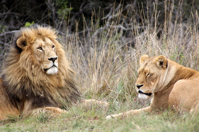 Endangered Lions