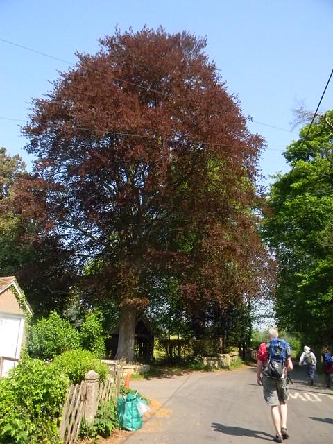 Copper Beech, Ashe churchyard