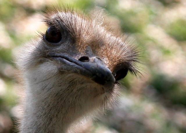 Ostrich bird | Flickr - Photo Sharing!