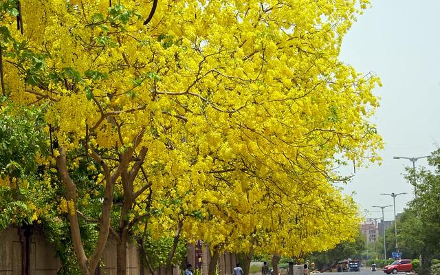 Significant buddhist trees not bodhi tree dhamma wheel common name amaltas golden shower tree indian laburnum hindi amaltas manipuri chahui tamil konrai mightylinksfo