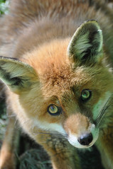 Fox get me out of here eyes