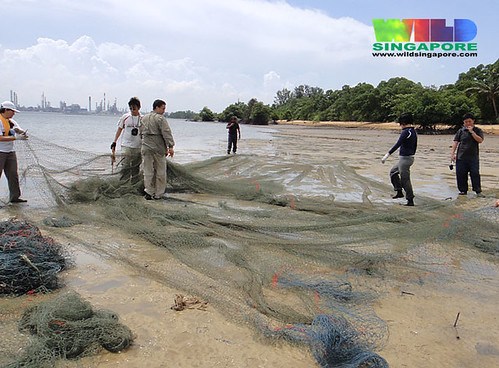 Removing a heavy duty net from Pulau Semakau