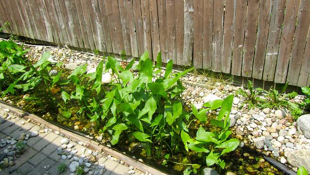Saggitarius plants prevent algae growth in the koi pond for Koi pond algae
