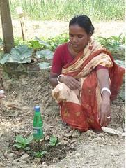 using plastic bottles for drip irrigation.
