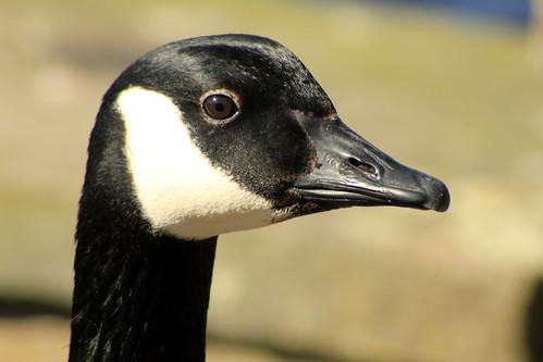 Canada Goose 2624