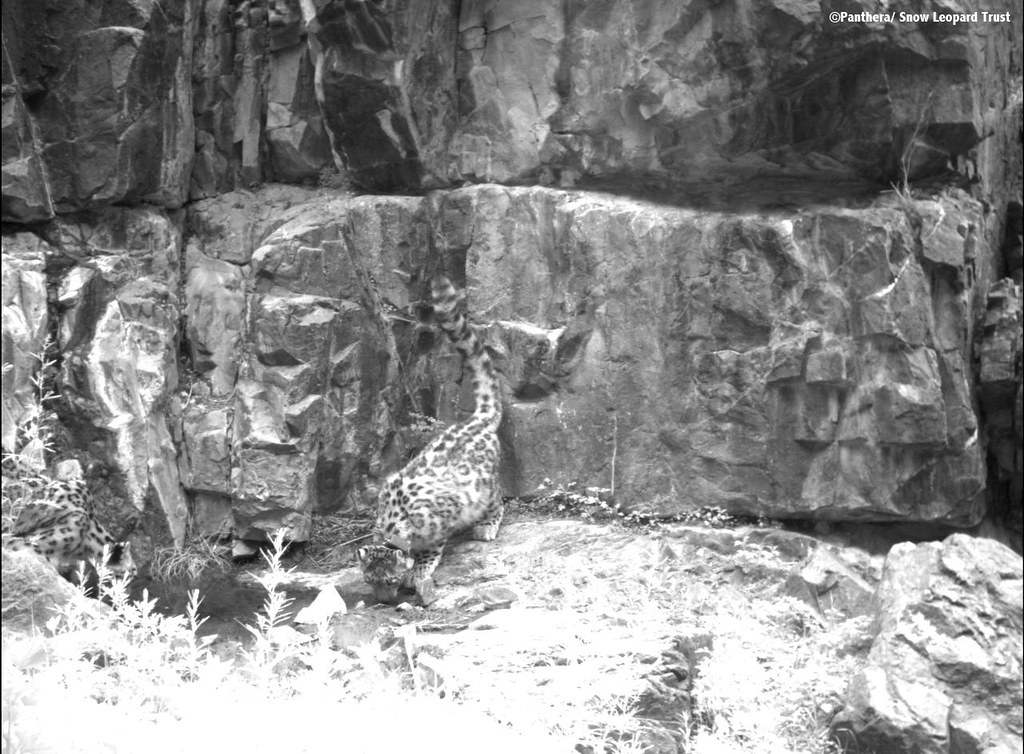 Zara the snow leopard drinking