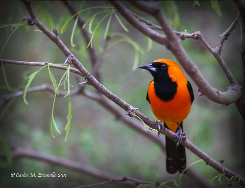 Hooded Oriole  IMG_0918edtvg