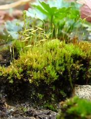 flower(0.0), soil(0.0), moss(0.0), aquarium(0.0), aquatic plant(0.0), plant(1.0), non-vascular land plant(1.0),