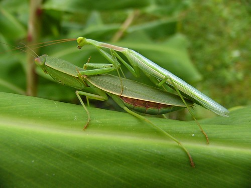 African & New Zealand Mantis