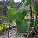 Alamo Cottonwood - Photo (c) Bri Weldon, some rights reserved (CC BY)