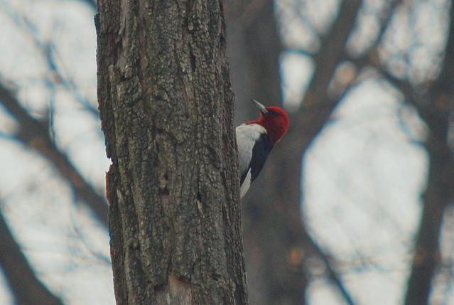 Woodpecker at Mason Neck State Park is part two for August's Featured Park of the Month.