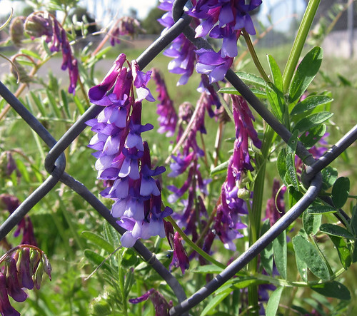purple flowers, chain-link spring