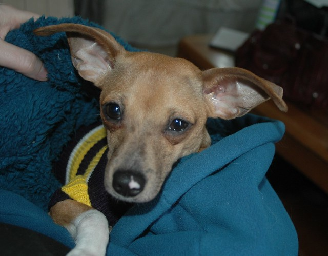 Daisy Our Italian Greyhound/Chihuahua Mix | Flickr - Photo ...
