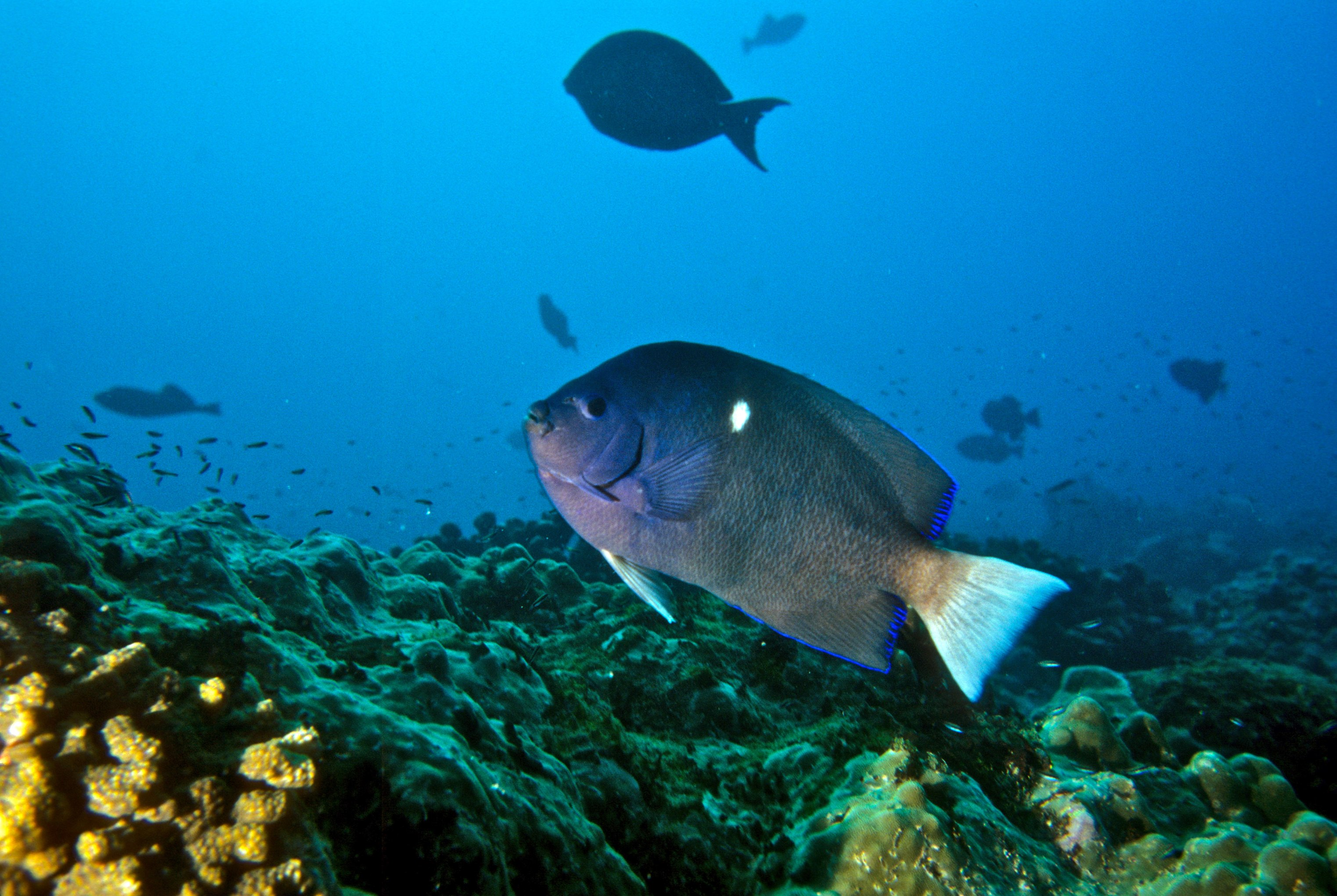 Clipperton Angelfish
