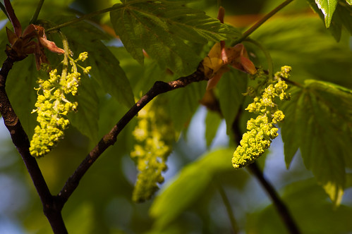 Sycamore flowers