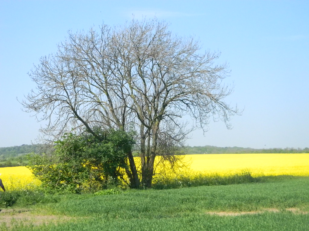 Yellow field with tree Laindon Circular Oilseed rape.