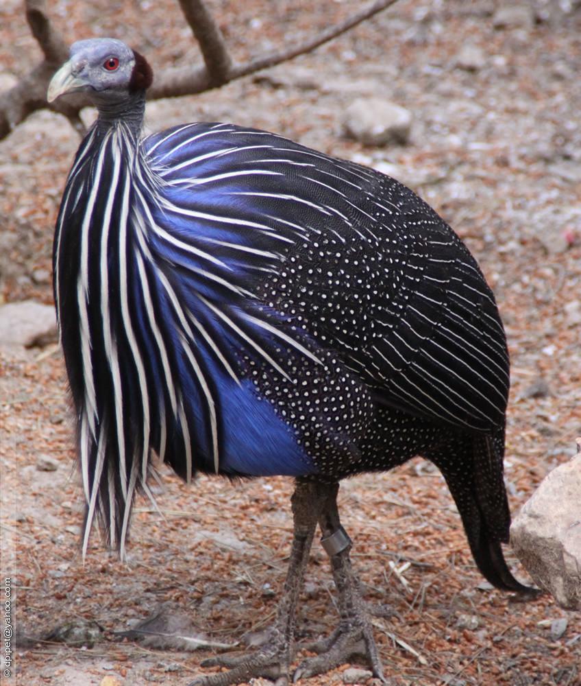 фото птица цесарка