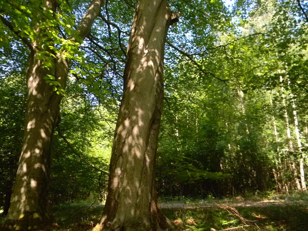 Dappled tree Ockley to Warnham