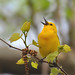 Prothonotary Warbler - Magee Marsh-2011 by VonShawn