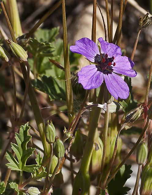 Erodium guttatum (Desf.) Willd.