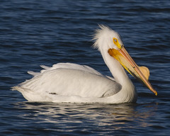 great egret(0.0), egret(0.0), animal(1.0), pelican(1.0), wing(1.0), fauna(1.0), beak(1.0), bird(1.0), seabird(1.0),