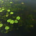 Small photo of LEAVES AFLOAT
