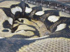 eastern diamondback rattlesnake(0.0), hognose snake(0.0), viper(0.0), rattlesnake(0.0), sidewinder(0.0), kingsnake(0.0), animal(1.0), serpent(1.0), snake(1.0), boa constrictor(1.0), reptile(1.0), fauna(1.0), scaled reptile(1.0),