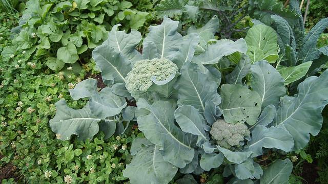 Broccoli in the Children's Garden. Photo by Alexandra Muller.
